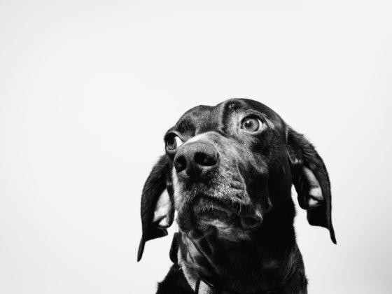 black and white hound