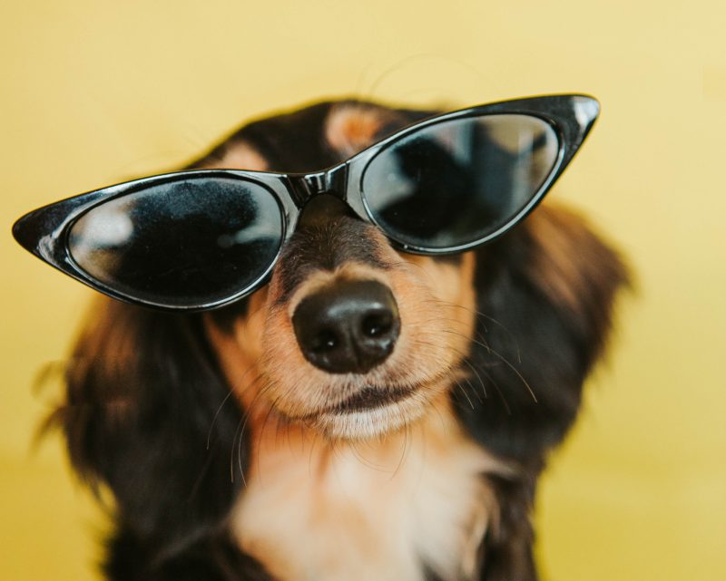 dachshund in sunglasses with yellow background