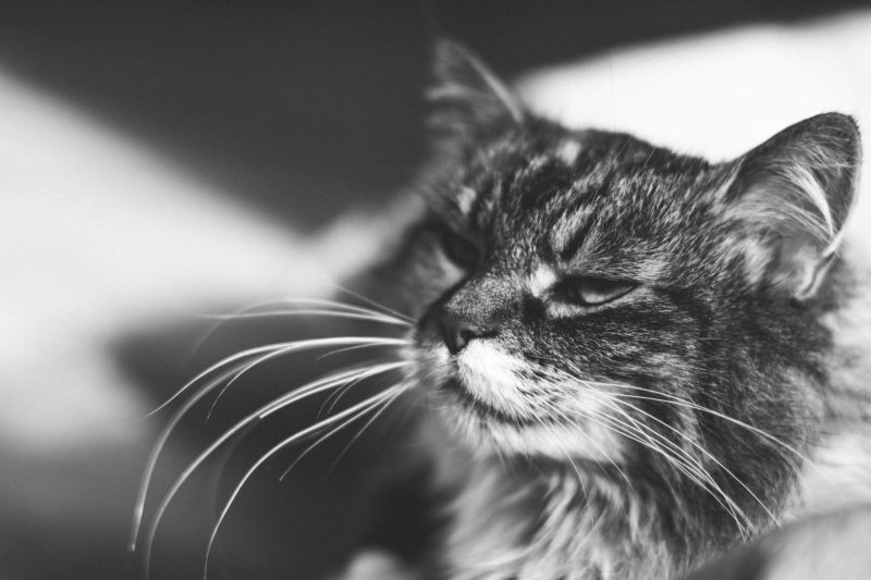 cat with whiskers black and white