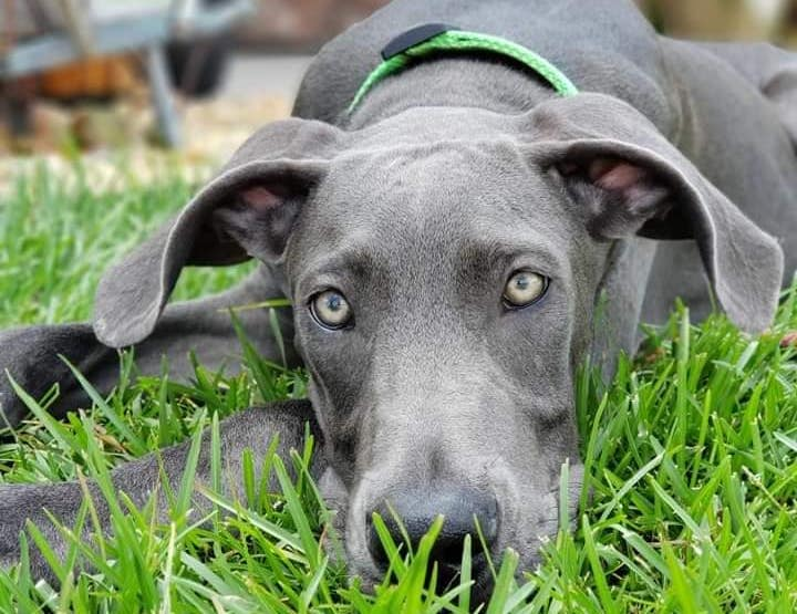 great dane face ion the grass