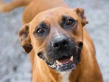 happy brown dog