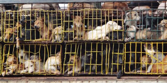 dog meat trade cages