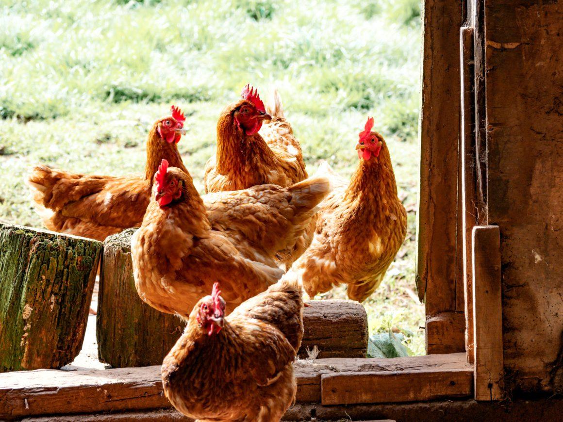 chicken in coop door