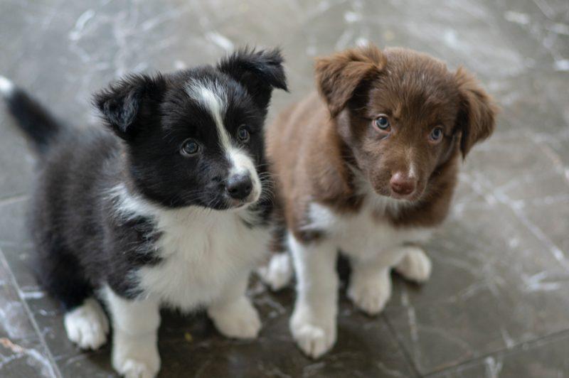 uastralian puppies