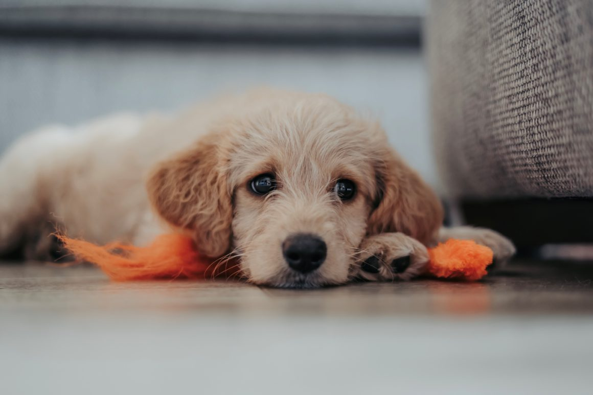 golden puppy laying on floor