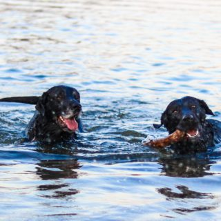 two black dogs in water