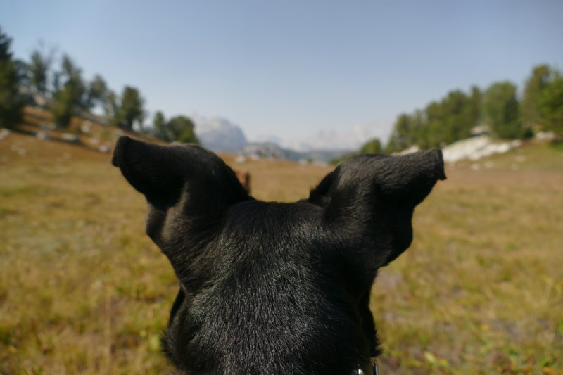 back of dog's black ears