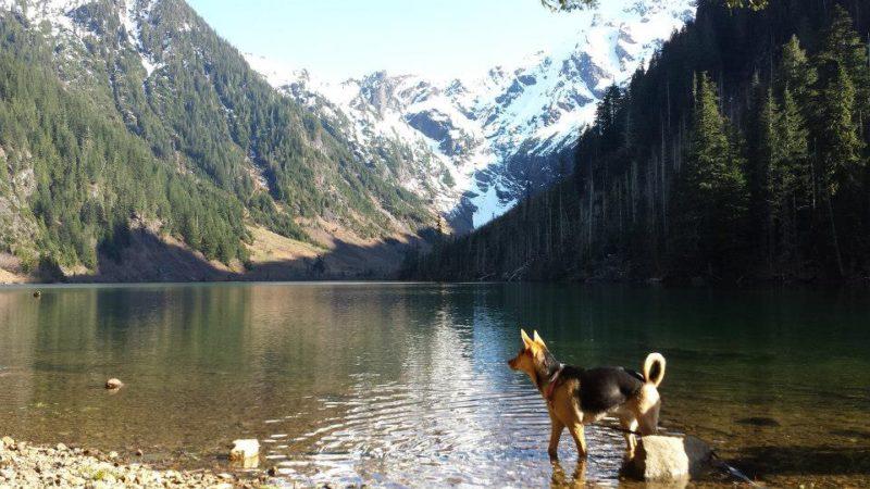 german shepherd in lake around mountains