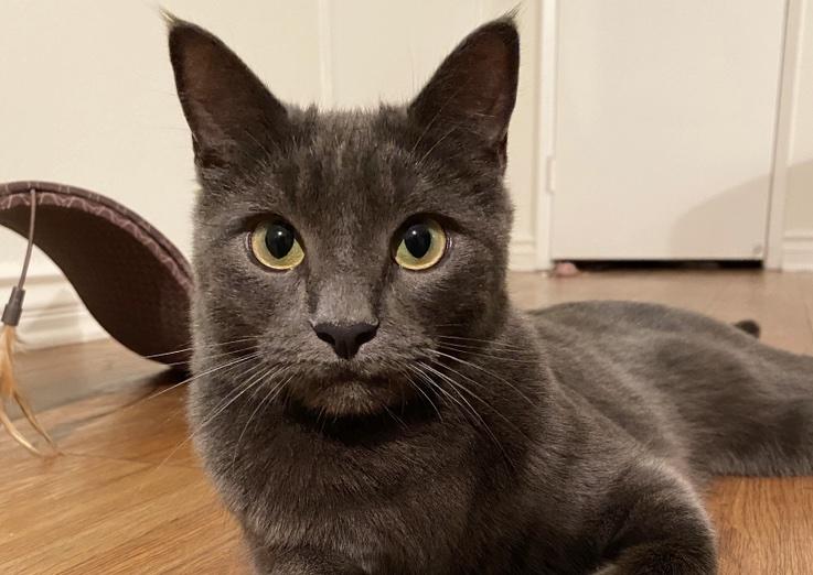 grey cat staring at camera