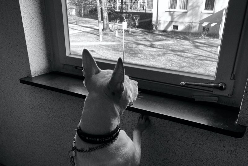 dog staring out a window