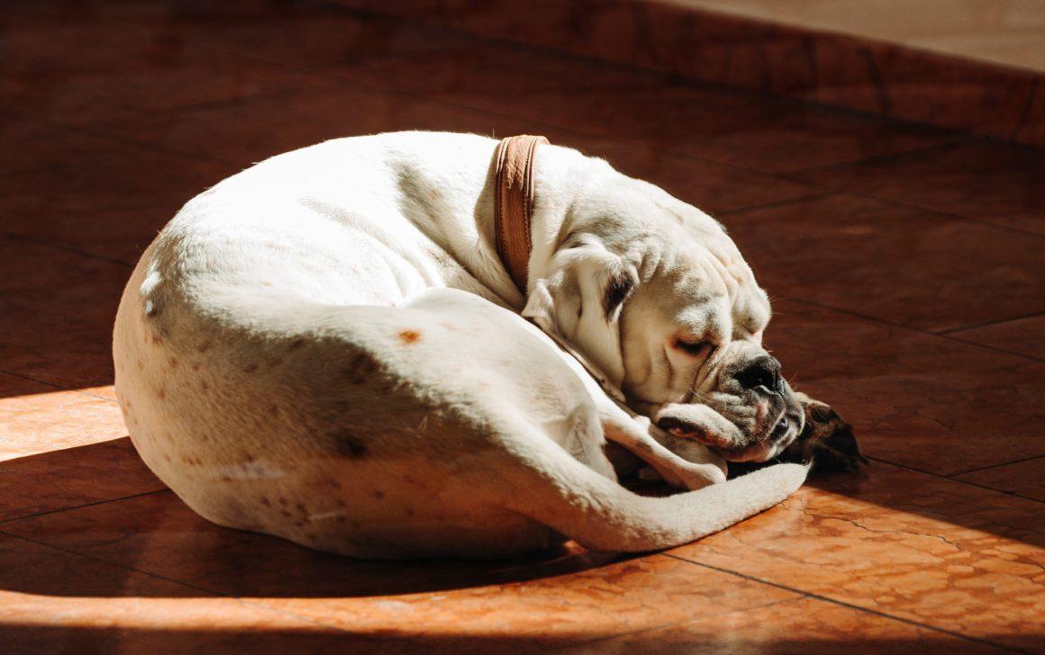 dog laying in sunlight