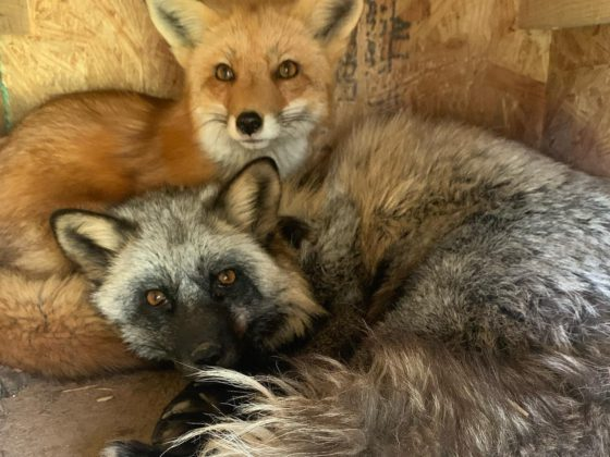 two foxes huddled together
