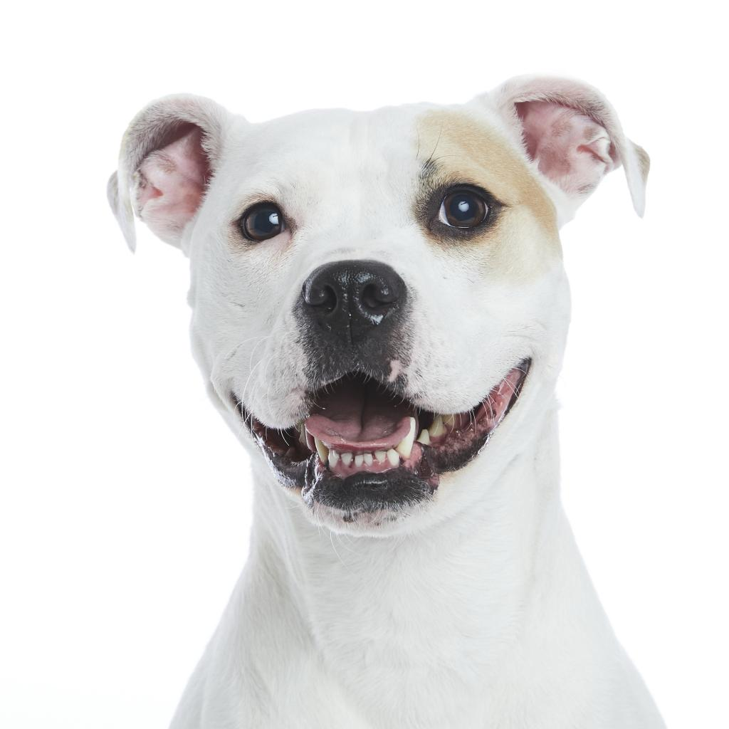 happy white pit bull