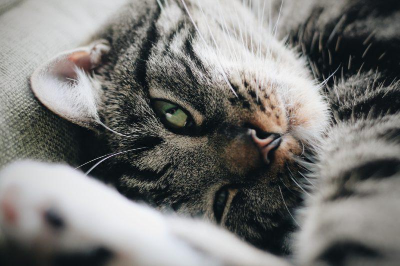 fluff cat face