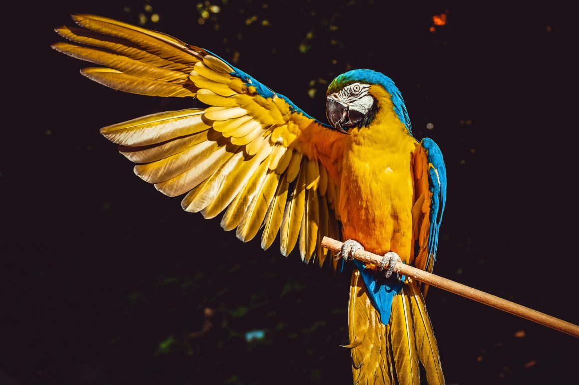 parrot holding out wing