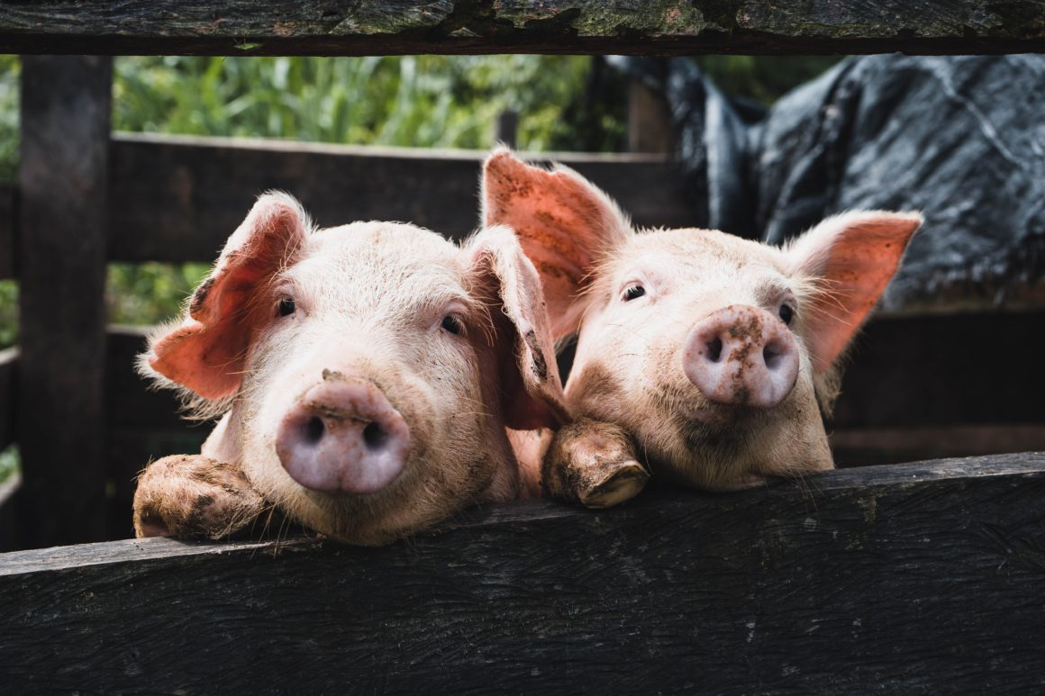 twi pigs in truck