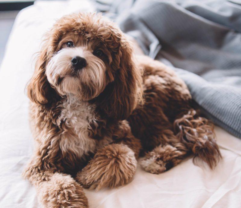 fluffy dog sitting on bed